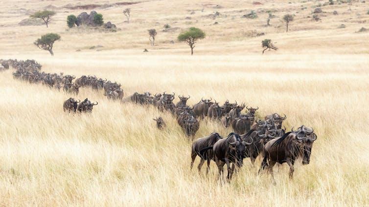 White-bearded wildebeest migrate through the Mara.Jane Rix/Shutterstock