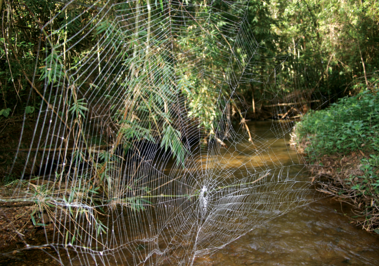 The web of Darwin's bark spider.