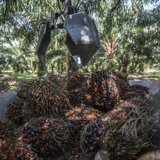 buy popular 4bca5 2cb7e Oil palm fruits harvested in Malaysia. Ahmad Yusni EPA