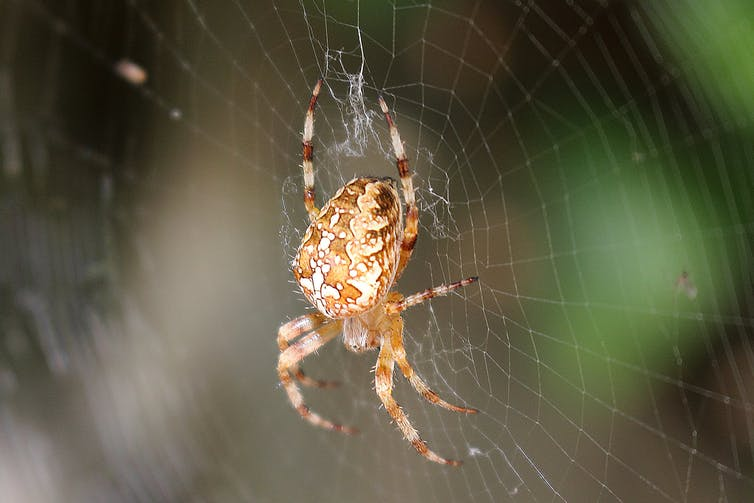 A close-up of an European garden spider in the middle of its web.