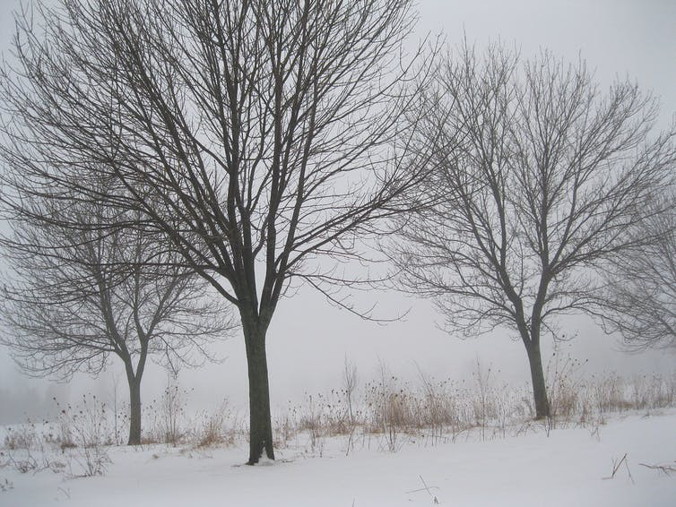 Three trees in the snow with no leaves.
