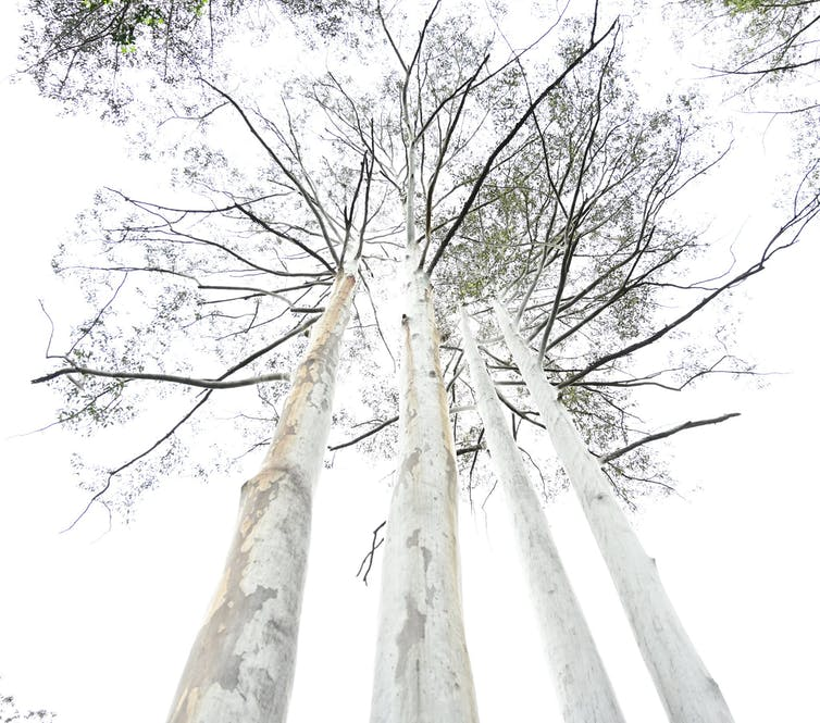 Four flooded gums (Eucalyptus grandis).