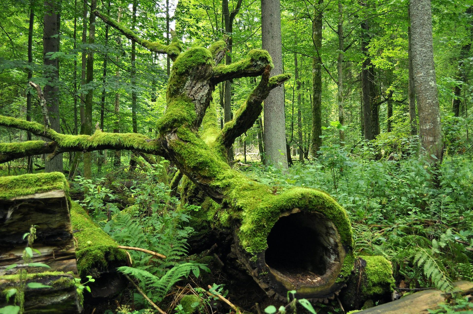 Les forêts anciennes, ces laboratoires du vivant