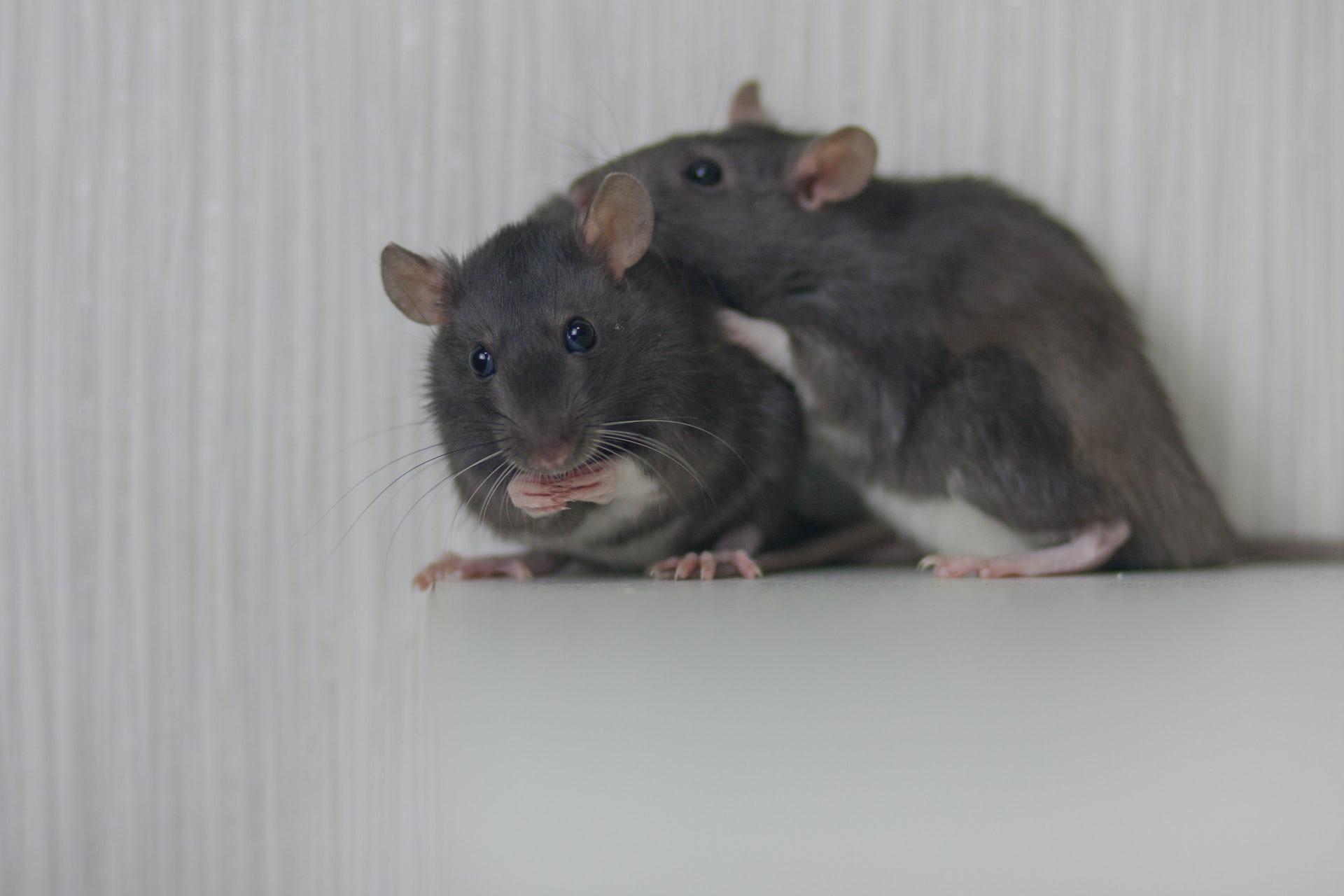 How to sex a rat