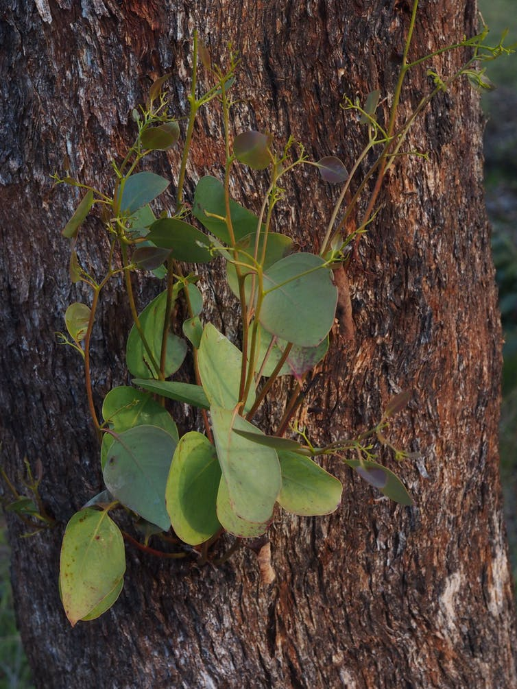How I discovered the Dalveen Blue Box, a rare eucalypt species with a sweet, fruity smell