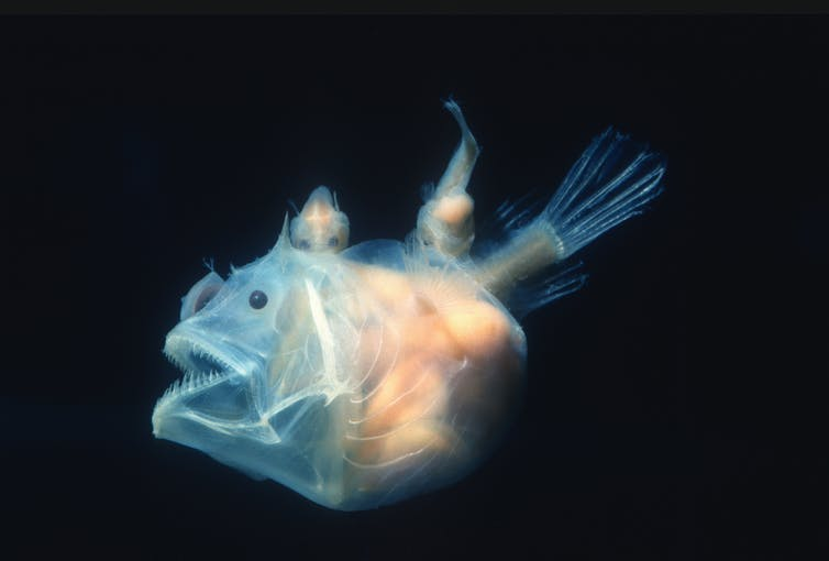 Curious Kids: how would the disappearance of anglerfish affect our environment?