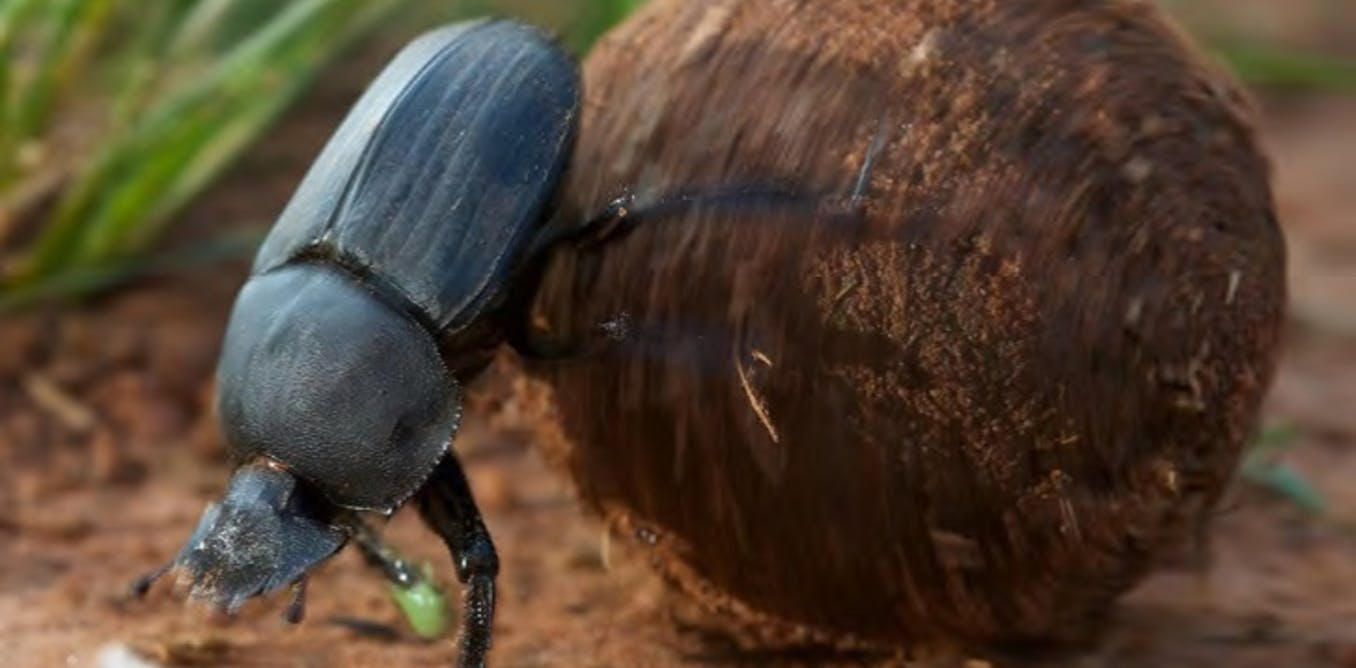 There's still so much we don't know about the star-gazing beetle with a tiny brain