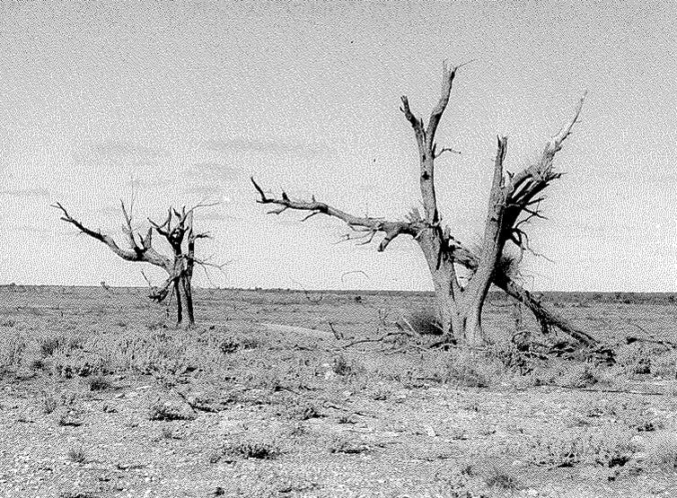 Maralinga trees after a blast. Courtesy of the author
