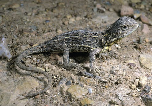 Why we're not giving up the search for mainland Australia's 'first extinct lizard'