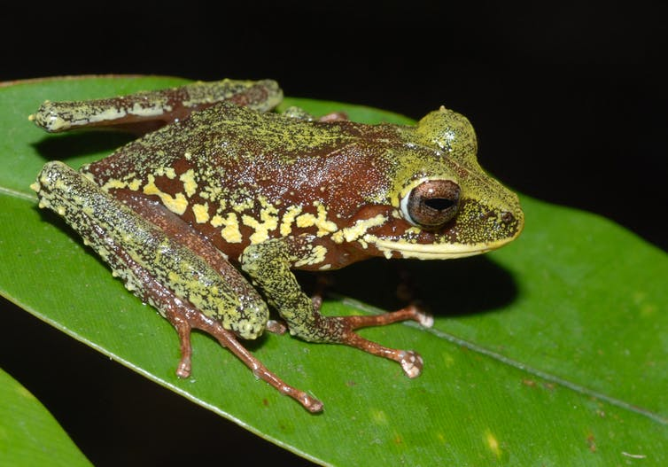 A deadly fungus threatens to wipe out 100 frog species – here's how it can be stopped