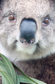 What does a koala's nose know? A bit about food, and a lot about making friends