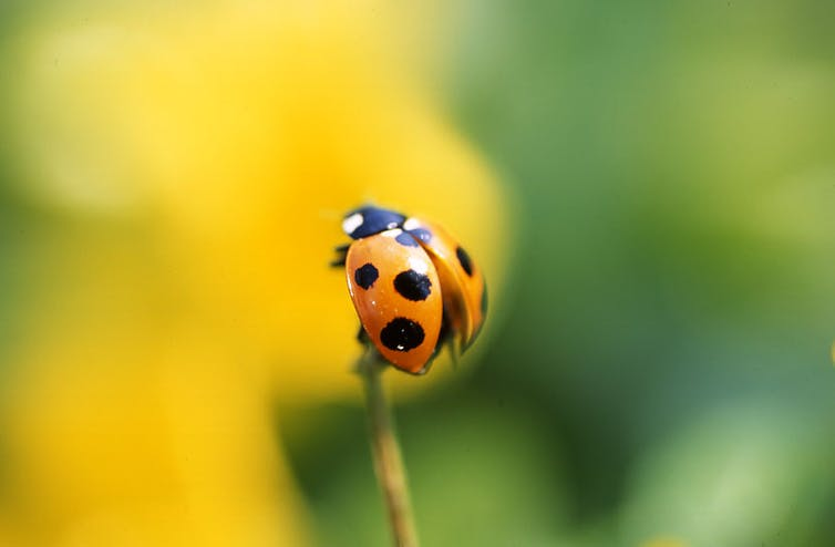 A ladybird in nature.