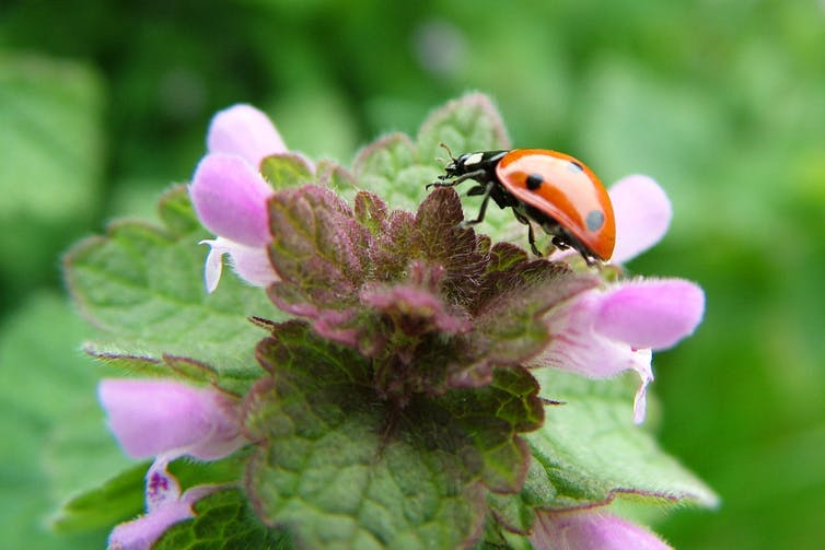 A ladybird crawling on a pink flower.