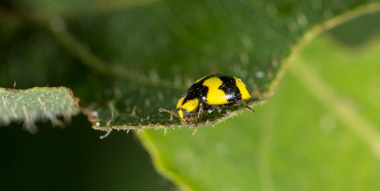 A yellow ladybird on a green leaf.