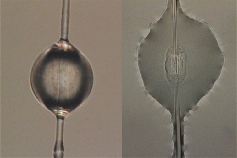 Droplet of spider glue suspended on capture spiral silk (left) and after adhering to a glass slide (right).Sarah Stellwagen, CC BY-ND