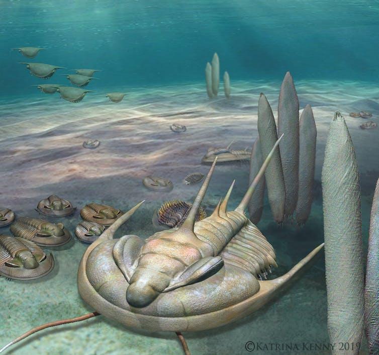 A giant species of trilobite inhabited Australian waters half a billion years ago