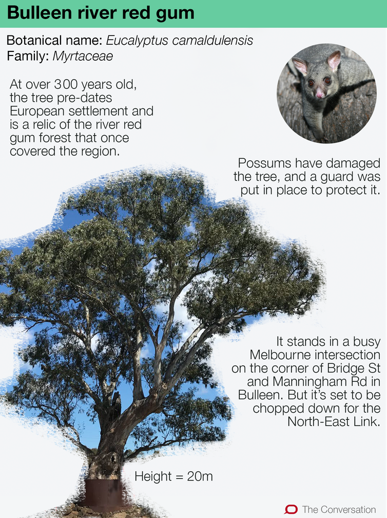This centuries-old river red gum is a local legend – here's why it's worth fighting for