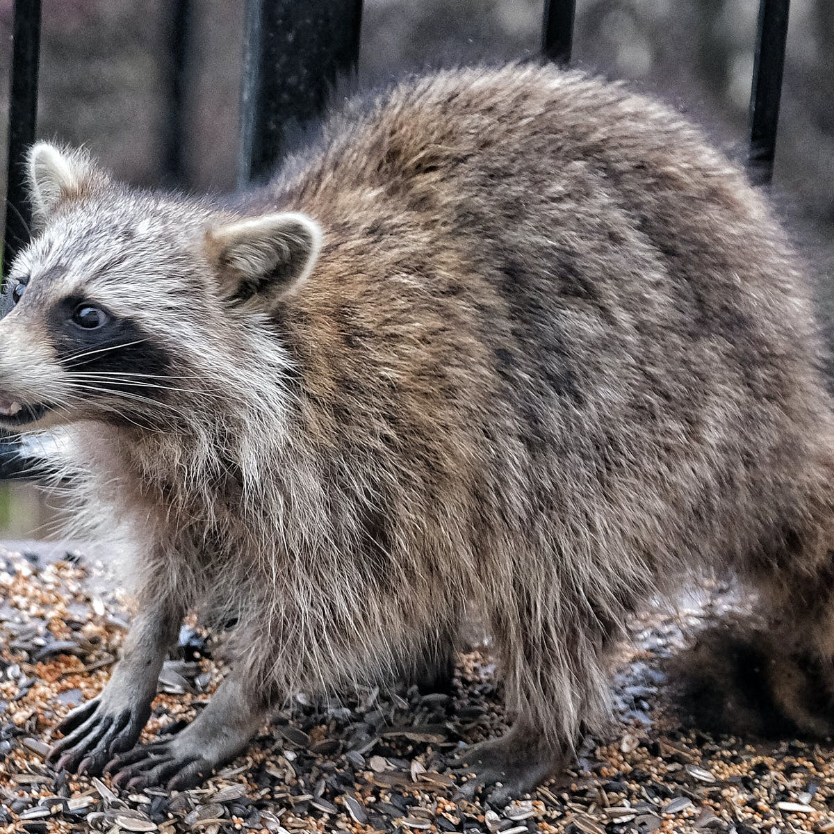 How To Handle Raccoons Snakes And Other Critters In Your Yard Hint Not With A Thermos