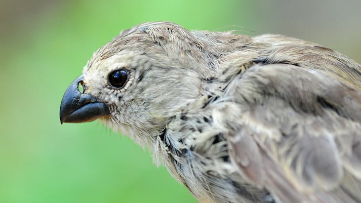 A parasite attack on Darwin's finches means they're losing their lovesong