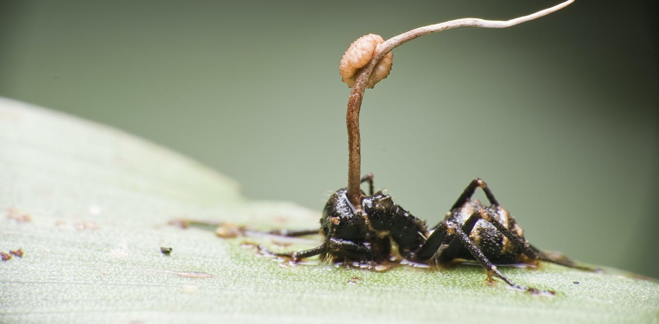 Zombie ants: meet the parasitic fungi that take control of living insects