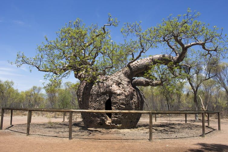 Built like buildings, boab trees are life-savers with a chequered past