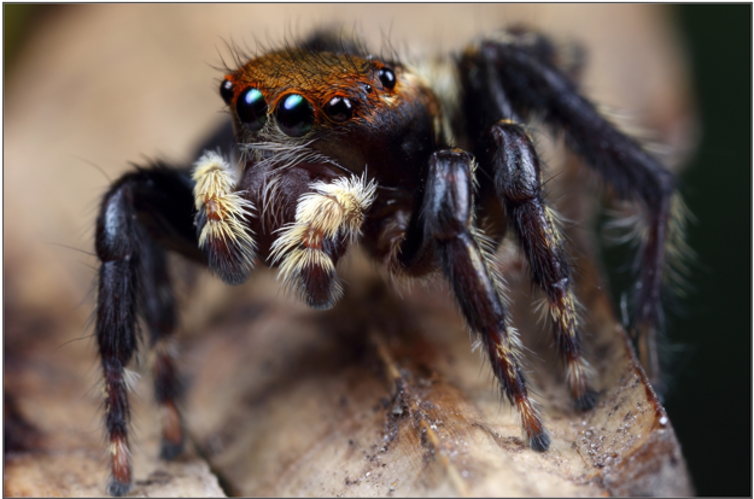 A close-up of a jumping spider and its eyes.