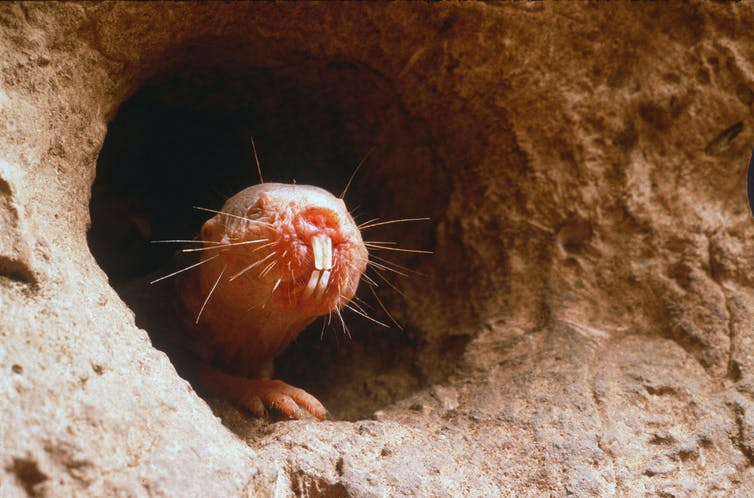 Studying Naked Mole Rats Could Be The Key To Breakthroughs In Treating Pain And Cancer
