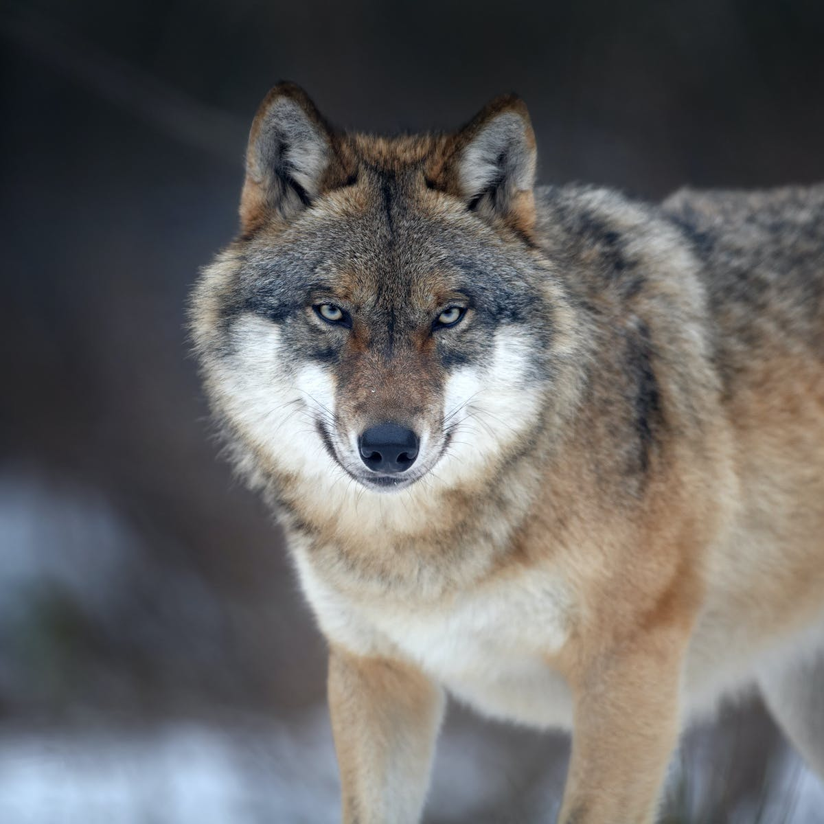 In defence of the wolf: this big bad animal is more prey than predator