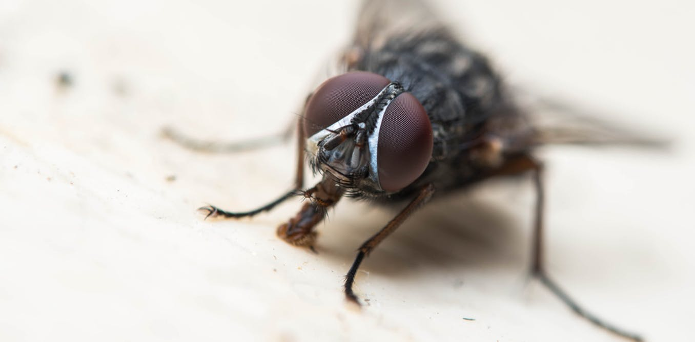 Drug-resistant germs found on flies in English hospitals – new study