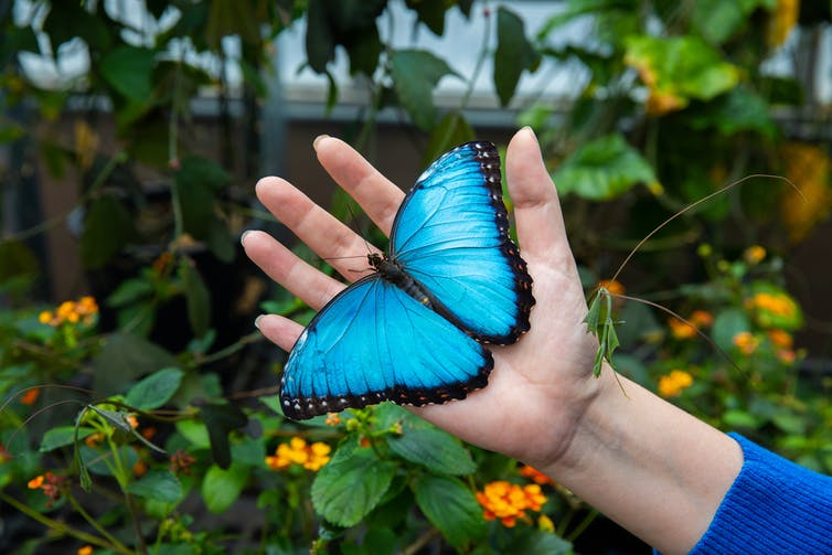 Adriana Briscoe holding a Morpho peleides butterfly, also known as a blue morpho, in the greenhouse at the University of California, Irvine. Wes Koseki - UCI School of Biological Sciences