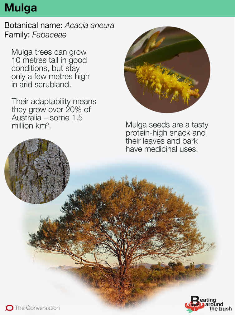 The mighty mulga grows deep and lives long