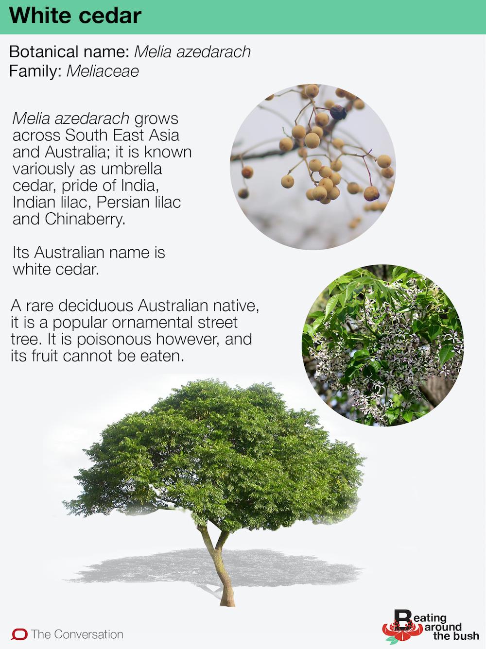 Part Ii More Fruit Of Poisonous Tree >> White Cedar Is A Rare Bird A Winter Deciduous Australian Tree