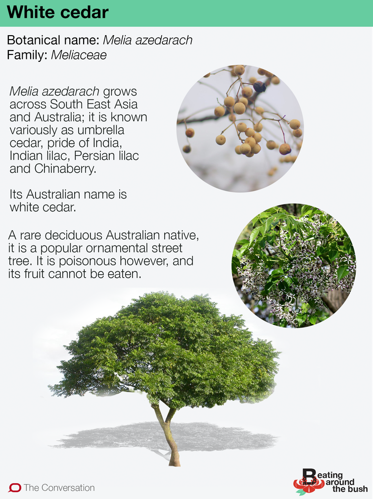 a winter deciduous Australian tree
