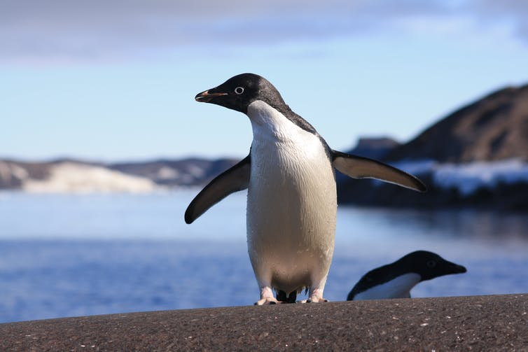 how can penguins stay warm in the freezing cold waters of Antarctica?