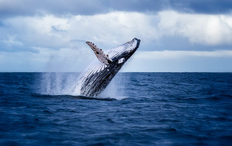 n the Southern Ocean, the ban on commercial whaling has helped some populations of humpback whale increase by 10% per year.