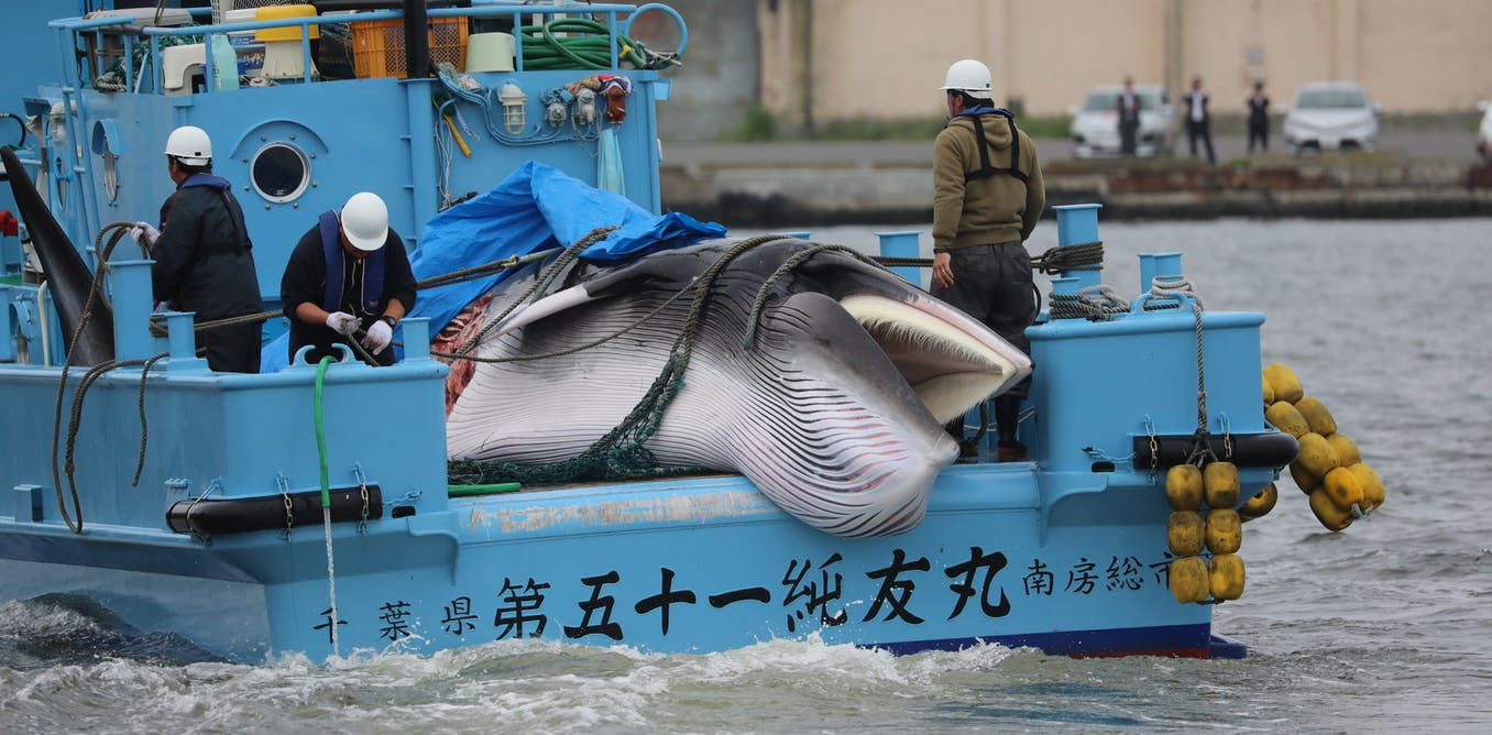 Japan to resume commercial whaling – researchers on how the world should respond