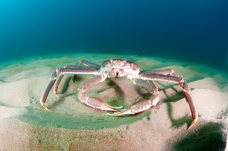 Snow Crab is an invasive species that has been fished commercially in international waters of the Barents Sea and the Svalbard Fisheries Protection Zone of the Arctic. - Shutterstock