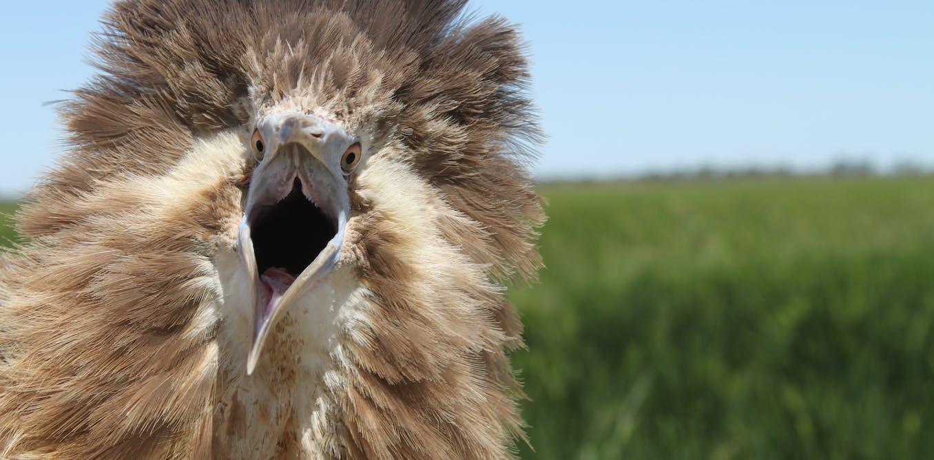 Meet the endangered Bunyip bird living in Australia's rice paddies