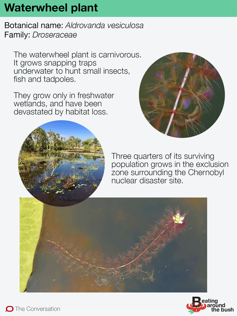 The waterwheel plant is a carnivorous, underwater snap-trap