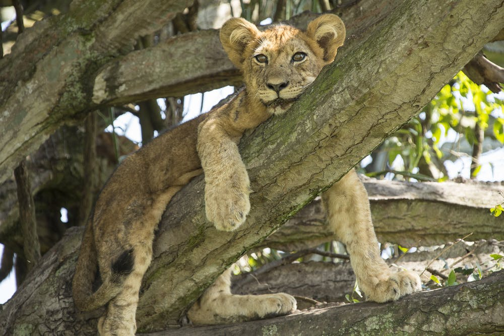 It S Sarabi S Pride Mufasa Just Lives There A Biologist On The Lion King