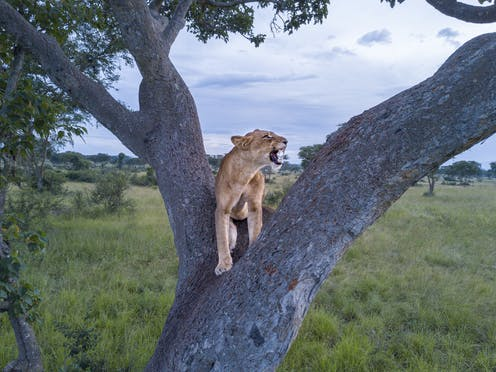 Its Sarabis Pride Mufasa Just Lives There A Biologist On