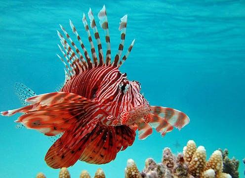 Aussi appelé rascasse volante, le poisson-lion qui peut atteindre près de 50 cm possède de longues épines le long de sa nageoire dorsale.