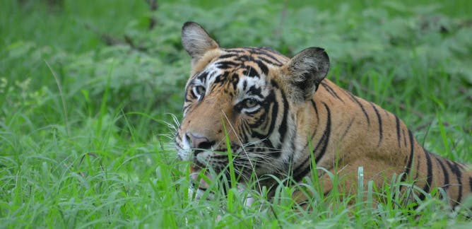 Big cats – News, Research and Analysis – The Conversation