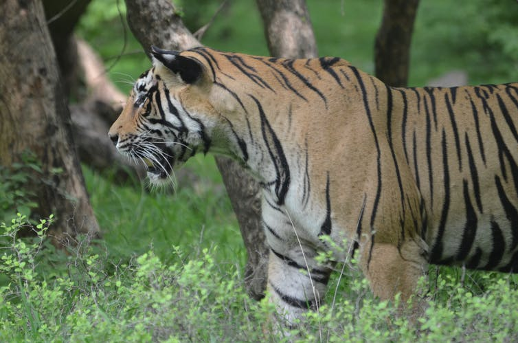 Some good conservation news: India's tiger numbers are going up