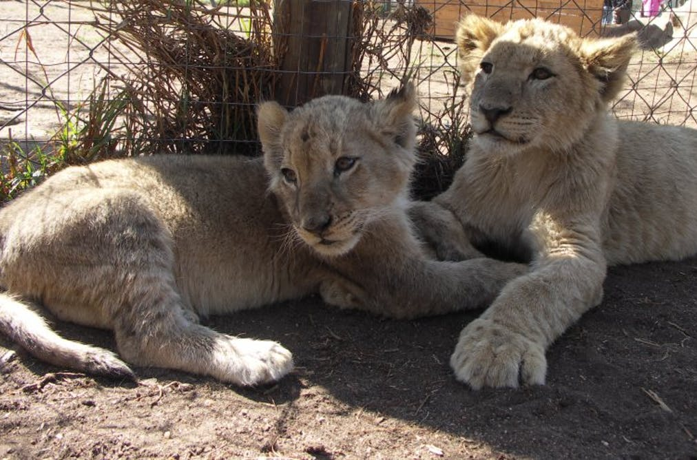 It's Sarabi's pride, Mufasa just lives there: a biologist on
