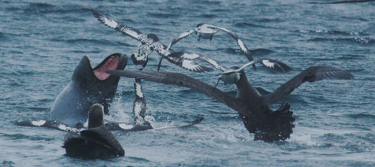 footage reveals that fierce leopard seals work together when king penguin is on the menu