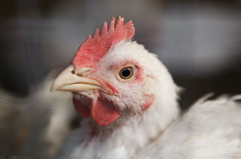 Finding signs of happiness in chickens could help us understand