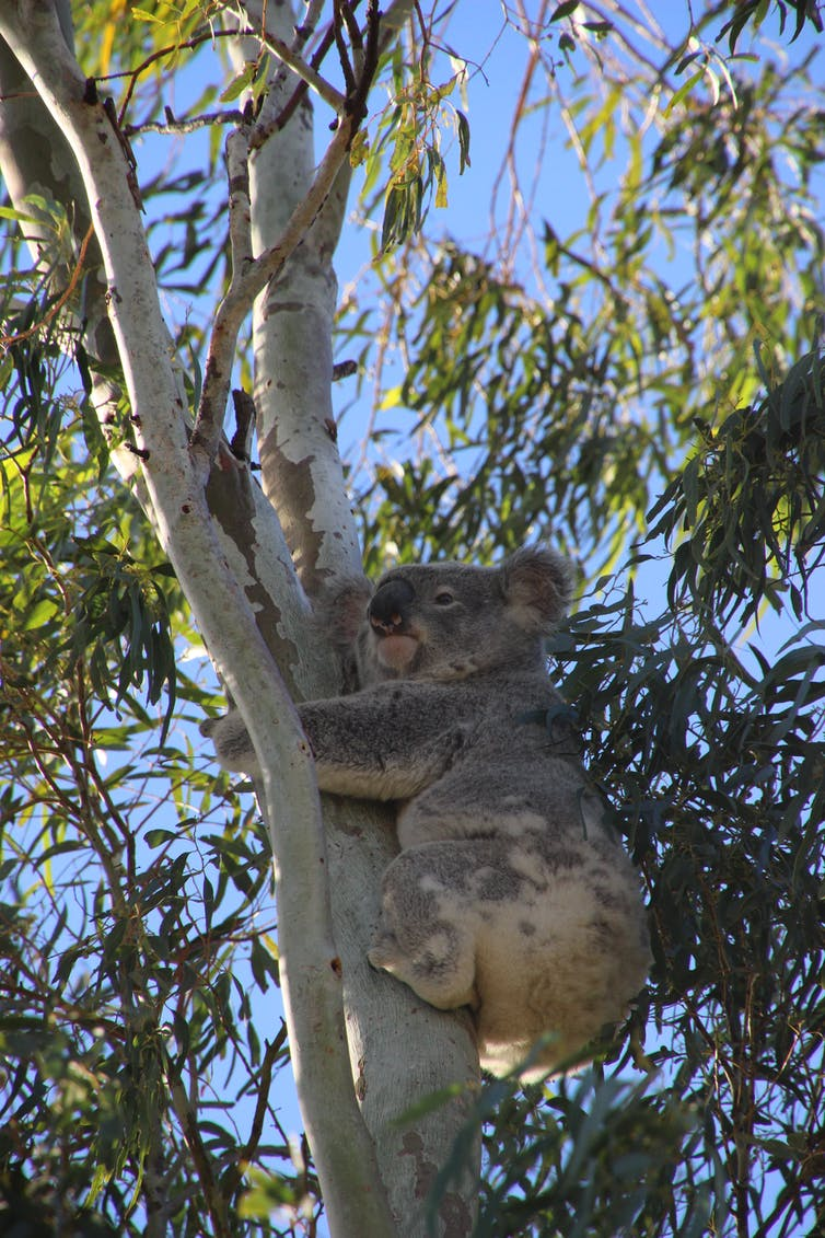 Koala-detecting dogs sniff out flaws in Australia's threatened species protection