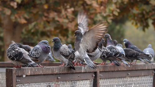 Leaders Fliers And Foragers The Politics Of Being A Pigeon
