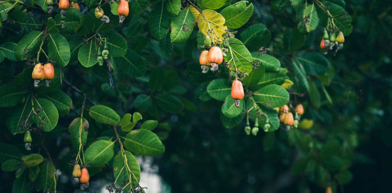 Ghana wants to grow more cashews. But what about unintended consequences?